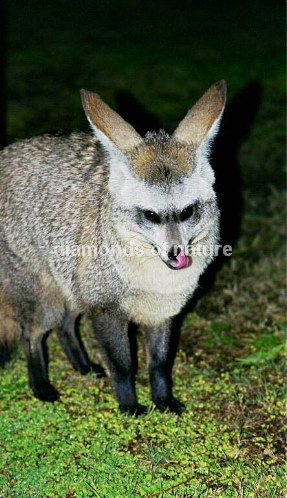 Löffelhund / Bat-eared Fox / Otocyon megalotis