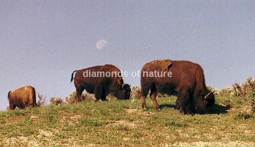 Büffel / Bison / Bison bison