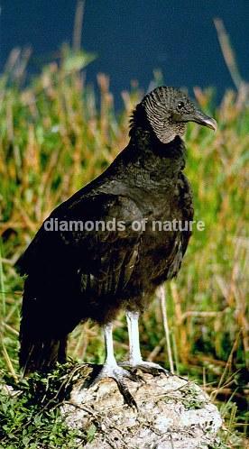 Rabengeier / Black Vulture / Coragyps atrata