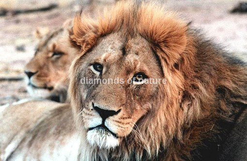 Afrikanischer Löwe / African Lion / Panthera Leo