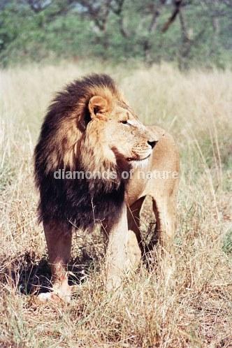 Afikanischer Löwe / African Lion / Panthera Leo