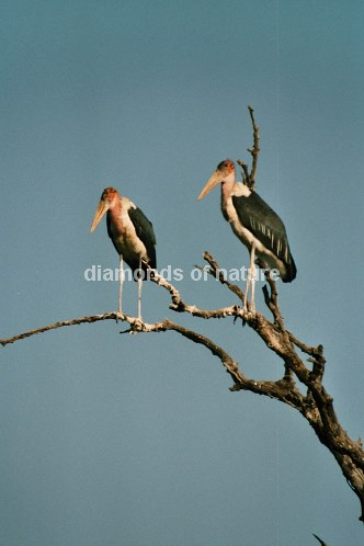 Marabu / Marabou Stork / Leptoptilos crumeniferus
