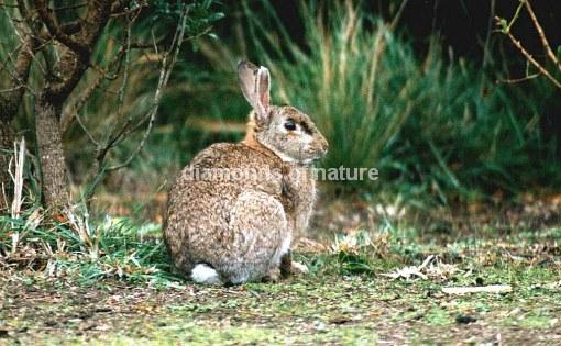 Wildkaninchen / Wild Rabbit / Oryctolagus cuniculus