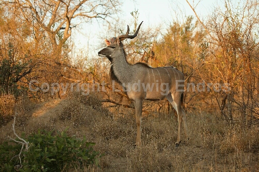 Großer Kudu / Greater Kudu / Tragelaphus strepsiceros