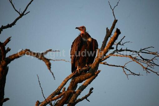 Kappengeier / Hooded Vulture / Necrosyrtes manachus