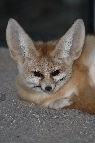 Fennek oder Wüstenfuchs / Fennec Fox / Vulpes zerda - Fennecus zerda